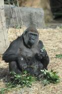 東京都・上野動物園のニシローランドゴリラが妊娠。出産は5月頃の予定