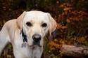 人気の犬種ランキング、26年連続ラブラドール・レトリバーが首位