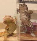 【おもしろトカゲ&カエル動画】カメラ目線で次々とポーズを決めるシュールなコンビ
