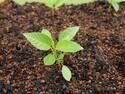 家庭栽培のモロヘイヤは毒性に注意