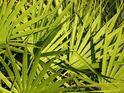 主な育毛剤の成分(3):5αリダクターゼを阻害する「ノコギリヤシ」