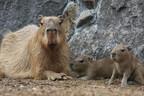 静岡県・伊豆シャボテン公園で新婚カピバラに赤ちゃんが2頭誕生!