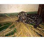 大阪府・天王寺動物園で、ネコ科のジャガーの赤ちゃんが誕生