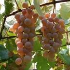 実りの秋は山梨県へ--サントリーのワイナリーで日本ワインの最高峰を味わう