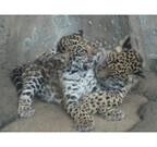大阪府・天王寺動物園のネコ科・ジャガーの赤ちゃん、すくすくと成長中