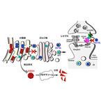 薬剤でタンパク質の異常構造を修復することでてんかんを軽減 - 生理研など