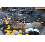 カピバラの露天風呂に、「ゆず湯」登場