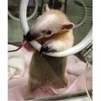 東京都・上野動物園で、舌のなが~い可愛すぎる赤ちゃんがデビュー!