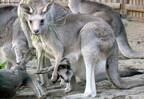 袋から顔を出したカンガルーの赤ちゃんが登場! - 東京都・上野動物園