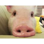 超癒やし系の店主は子豚ちゃん! それが石川県の豚肉料理居酒屋ってホント!?