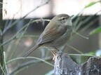 東京都・上野動物園で、春を告げる鳥「春告鳥」のさえずりが始まる