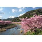 早咲きの名所、静岡・河津桜を撮影してきた - 桜の撮り方 2015