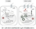 幹細胞マーカー「Lgr5」は大腸がんで重要な役目を果たす - 東大IMCB