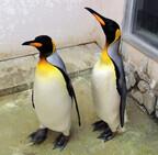 東京都・葛西臨海水族園に、オウサマペンギンが来園