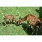 奈良公園の鹿の赤ちゃんを一般公開 - 母子姿にお乳タイム、出産シーンも