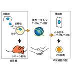 遺伝子発現タンパク質の添加でiPS細胞の作製効率は20倍向上される - 理研