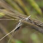岡山大、「人類最古の農業」で収穫されていた栽培オオムギの起源を解明
