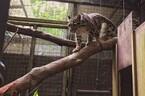 神奈川県・よこはま動物園に、ネコ科・ウンピョウ2匹が来園
