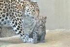 ネコ科・アムールヒョウの赤ちゃんの公開が開始