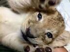ライオンの赤ちゃん「のぞむ」くん公開中 - 那須サファリパーク