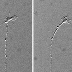 理研、脂質が異なる種類の感覚を脊髄で分けていることを発見