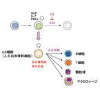 理研など、白血球を作り出す細胞を無限に増幅させる方法を開発