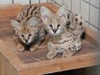 東京都・多摩動物公園で、ネコ科「サーバル」の子どもたちを公開