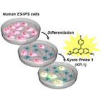 京大、ヒト多能性幹細胞を光らせることができる蛍光化合物を発見