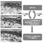 スギ花粉が肌の水分量と細胞間脂質量を低下させる - 資生堂
