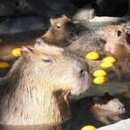 「元祖カピバラの露天風呂フィナーレ」など開催 -伊豆シャボテン公園