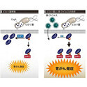 ピロリ菌とウイルスの連携により胃がん発症抑えるSHP1の発現が抑制 - 東大
