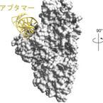東大、肺線維症の原因タンパク質の働きを阻害する核酸医薬を開発