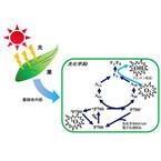 神戸大、植物が活性酸素を生成し枯れていくメカニズムを解明