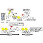 産総研、アレルゲン遺伝子を欠失したニワトリを作製