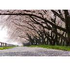 中国人が日本の春に期待するものは? 中国版ツイッターで必死に情報交換も