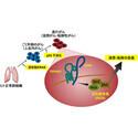 国立がん研、肺腺がんの悪性化プロセスを解明 - 新たな治療標的分子を発見