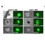 iPS細胞の誘導時に脱メチル候補因子Aidは必須ではない - 京大CiRA