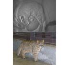 東京都・井の頭自然文化園にヤマネコの赤ちゃんが人工授精で誕生