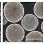 京大と日産化学、ヒト多能性幹細胞を大量に培養できる技術を開発