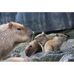 カピバラの赤ちゃん誕生でキャンペーン実施 - 伊豆シャボテン公園