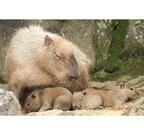カピバラの赤ちゃんが小さくて可愛い!!-静岡県で3頭誕生