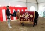 三重県で、松阪牛の女王を決定する「松坂牛まつり」開催