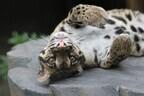 絶滅危惧種のネコ科・ウンピョウがよこはま動物園にいた!