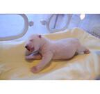 全身ピンク色のホッキョクグマの赤ちゃんがかわいすぎる!