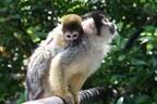 リスザルの赤ちゃん…リスなの? サルなの? どっちなの?