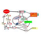 カネカ、還元型コエンザイムQ10による老化遅延などの作用メカニズムを解明