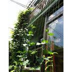 エアコンの出番を減らす節電テク! (Part1)「グリーンカーテン」は実は簡単!