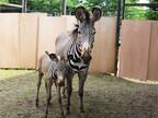 グレビーシマウマの赤ちゃん、無事生まれたよ! -富山市ファミリーパーク