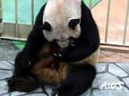 元気なパンダの赤ちゃんが誕生しました! -和歌山・アドベンチャーワールド