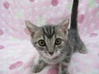 この猫はどんな猫!? 猫種を学んでみよう (3) 陽気で賢い、天性のハンター -アメリカンショートヘア